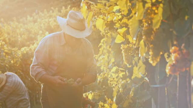 Senior man harvesting grapes by hand at sunset
