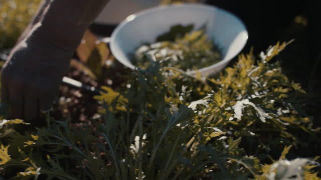 senior man harvesting salad in garden - picking stock videos & royalty-free footage