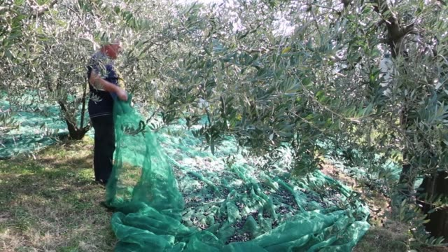 senior man holding net with harvested olives - platzieren stock-videos und b-roll-filmmaterial