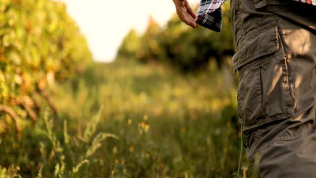 夕暮れ時のブドウ畑の年配の男性 - ブドウの葉点の映像素材/bロール