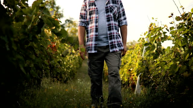 senior man in vineyard at sunset - vine plant stock videos & royalty-free footage