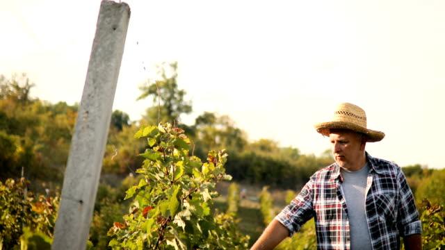 senior man in vineyard at sunset - vine stock videos & royalty-free footage