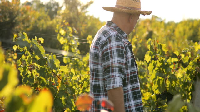 senior man in vineyard at sunset - solo un uomo anziano video stock e b–roll