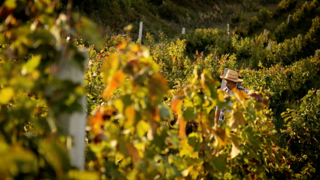 senior man in vineyard at sunset - vineyard stock videos & royalty-free footage