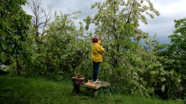 seniorenmensch pflückt akazienblüten - korb stock-videos und b-roll-filmmaterial