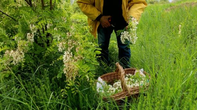 senior man picking acacia flowers - acacia tree stock videos & royalty-free footage