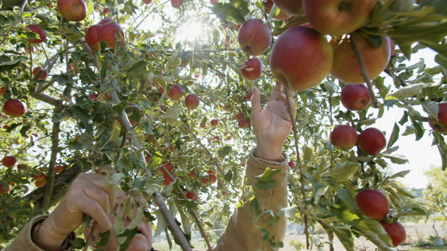 senior man picking apples from his apple tree - orchard stock videos & royalty-free footage