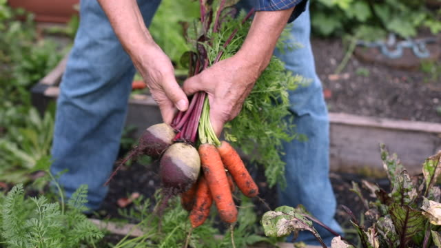 Senior man picking carrots and beets in home garden