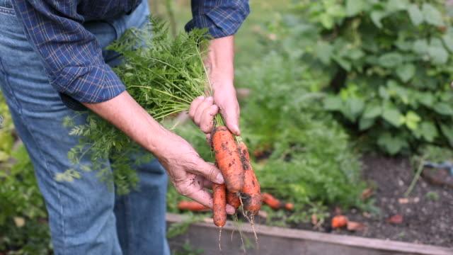 Senior man picking carrots in home garden
