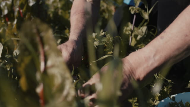 vídeos y material grabado en eventos de stock de senior man picking fresh herbs in his garden - campesino