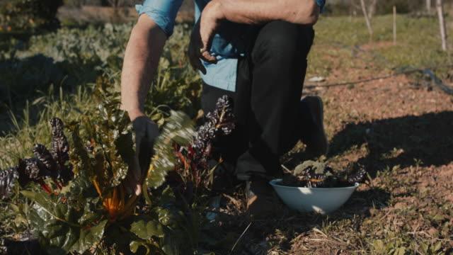 senior man picking leaf vegetables in organic garden - organic farm stock videos & royalty-free footage