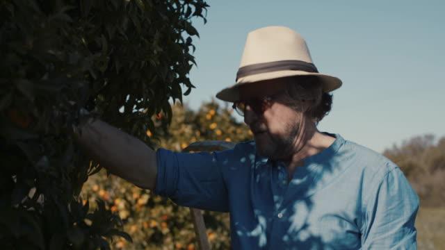 senior man picking mandarins from tree - ladder stock videos & royalty-free footage