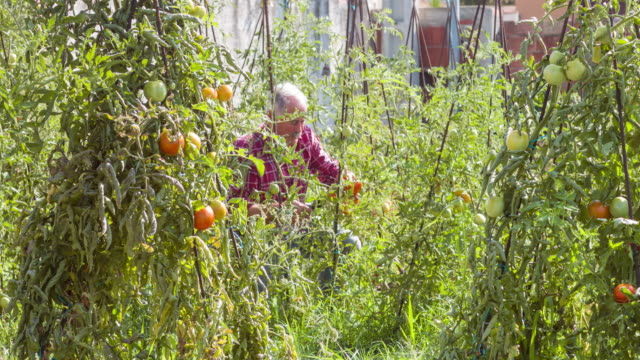 vídeos y material grabado en eventos de stock de senior man picking tomatoes in his allotment - un solo hombre mayor