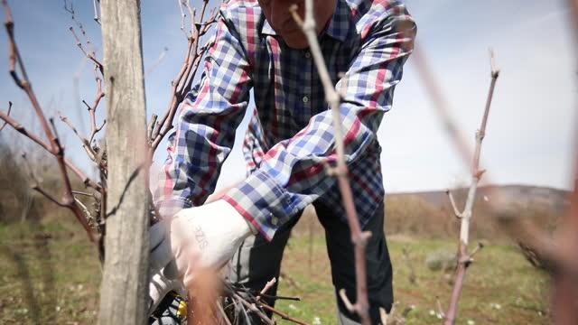 senior man beskärning vingård - beskära bildbanksvideor och videomaterial från bakom kulisserna