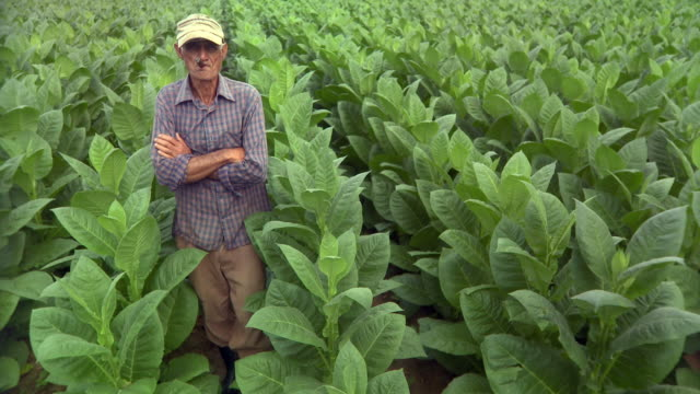 MS Senior man smoking in tobacco field / San Luis, Pinar del Rio, Cuba