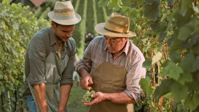 DS Senior man teaching his son about quality of grape clusters