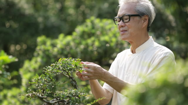 ms senior man tending to bonsai tree in garden - asia stock videos & royalty-free footage