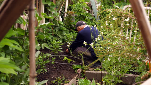 MS Senior man tending to pepper plants in vegetable patch in community garden