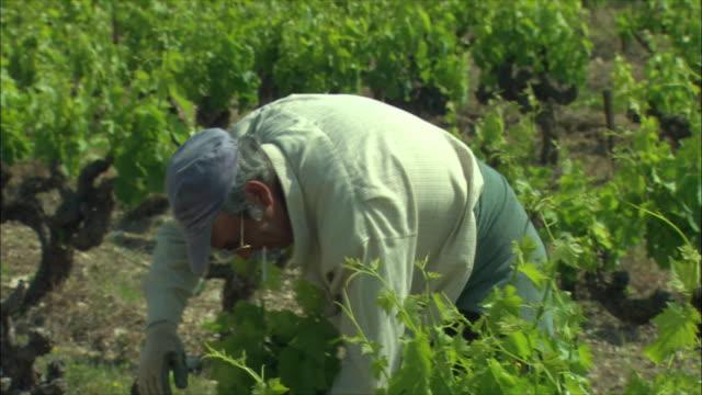 vidéos et rushes de ms senior man working in vineyard / provence, france - gant de jardinage
