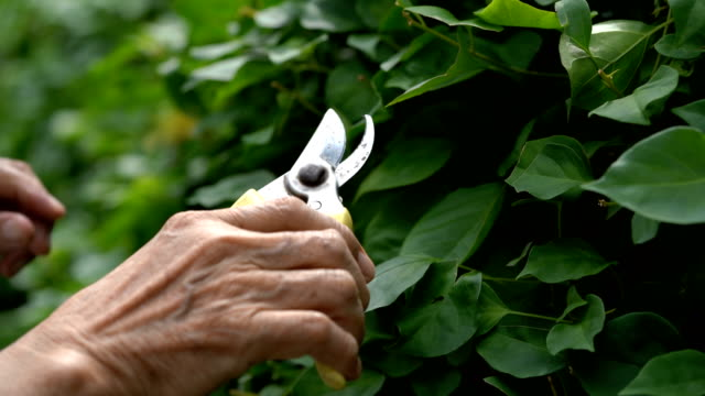 cu senior man's hands pruning - secateurs stock videos & royalty-free footage