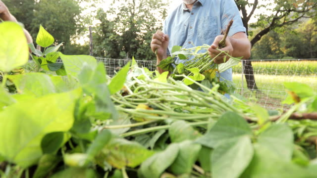 senior men cleaning runner bean on tractor trailer - runner bean stock videos & royalty-free footage