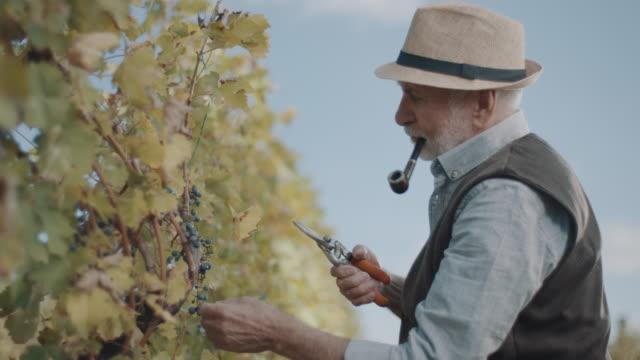 vidéos et rushes de hommes aînés coupant des raisins rouges des vignes - raisin noir