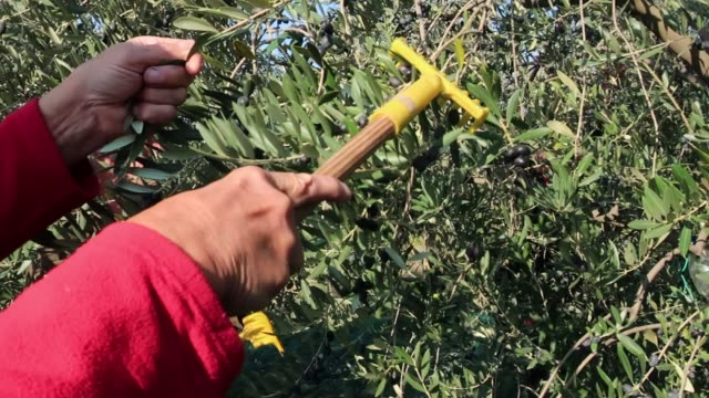 senior men harvesting black olives with rake - part time worker stock videos & royalty-free footage