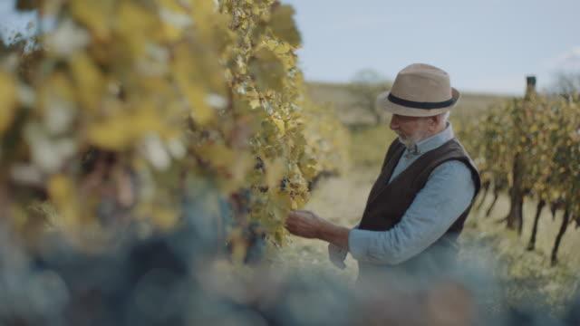 vídeos y material grabado en eventos de stock de hombres mayores en el viñedo - uva cabernet sauvignon