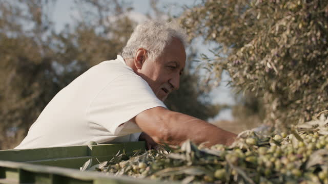 senior olive farmer with hands in fresh olives - orchard stock videos & royalty-free footage