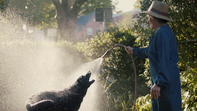 senior woman and her dog play with gardening hose - cute stock videos & royalty-free footage
