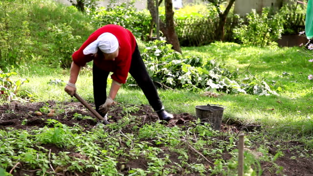 Senior woman digs potatoes at the vegetable garden