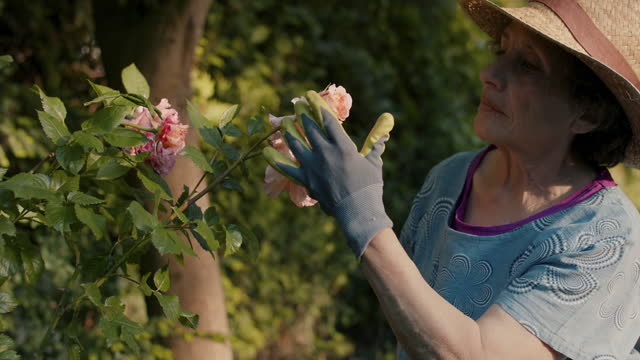 senior woman examining roses in her garden - landscaped stock videos & royalty-free footage
