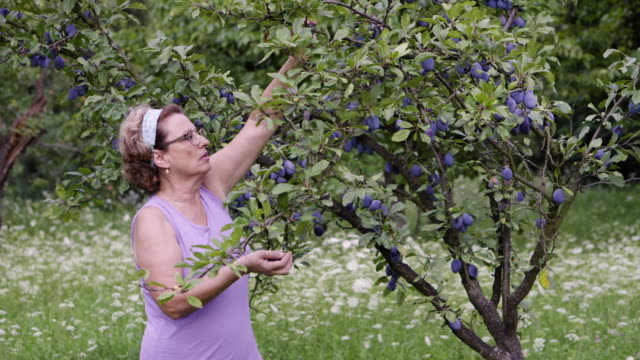 Senior woman harvesting a plums in orchard