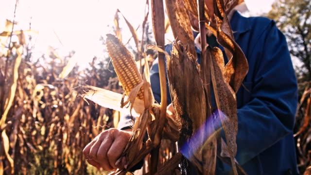 slo mo senior woman harvesting corn - husking stock videos & royalty-free footage