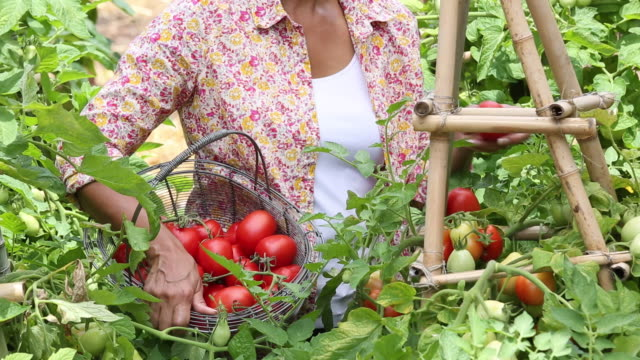 MS TU TD Senior Woman Harvesting Tomatoes from Home Garden / Richmond, Virginia, USA