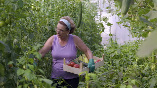 senior woman harvesting vegetables in the greenhouse - crate stock videos & royalty-free footage