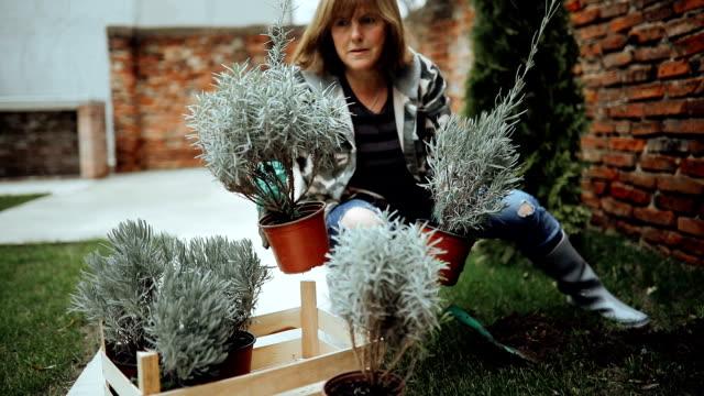 Senior woman planting lavenders