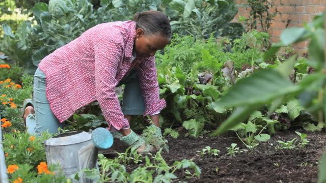 vidéos et rushes de ws td senior woman planting tomato plant in garden, richmond, virginia, usa - gant de jardinage