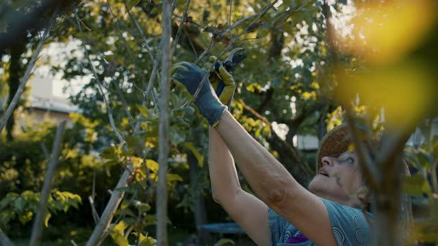 senior woman pruning hedge in garden - buske bildbanksvideor och videomaterial från bakom kulisserna
