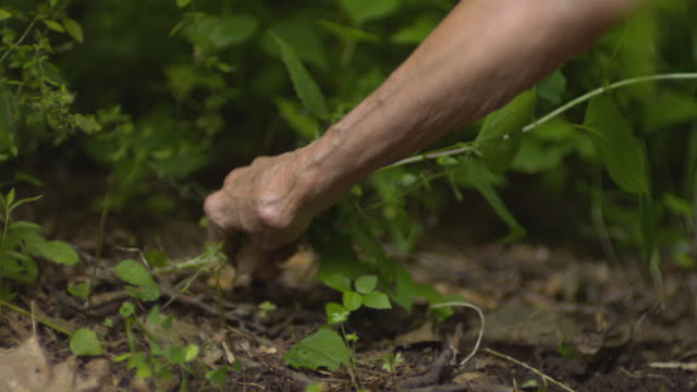 CU SLO MO Senior woman pulling weeds in green garden  / Morristown , New Jersey, USA