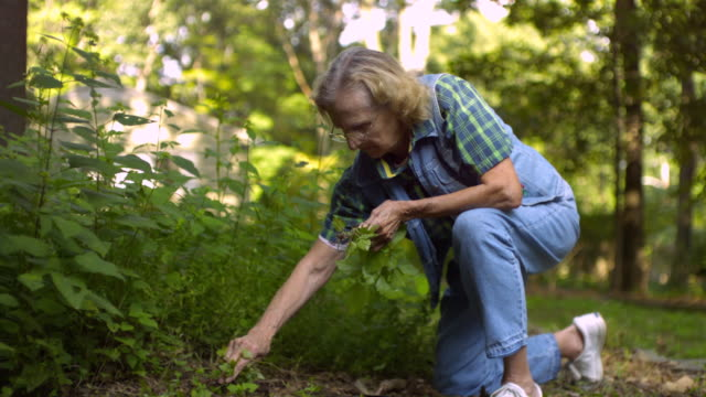 ms senior woman pulling weeds in green garden  / morristown , new jersey, usa - weeding stock videos & royalty-free footage