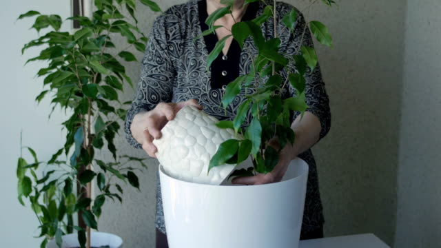 stockvideo's en b-roll-footage met senior vrouw verpotten houseplants - kamerplant