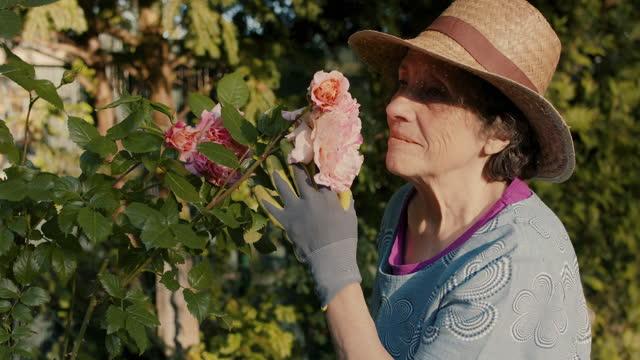 vídeos y material grabado en eventos de stock de senior woman smelling roses in her garden - ajardinado