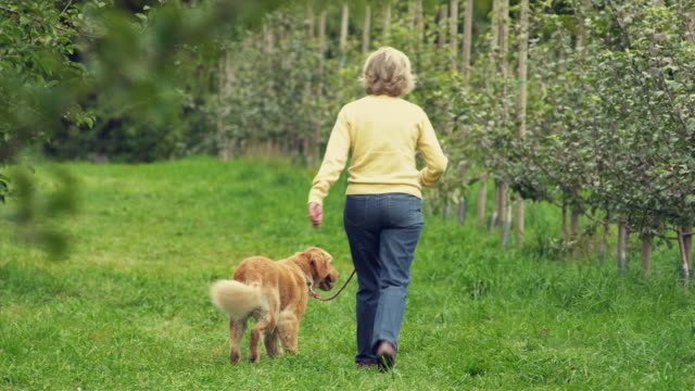 ms pan cu senior woman walking with golden retriever dog in orchard, manchester, vermont, usa - retriever stock videos and b-roll footage