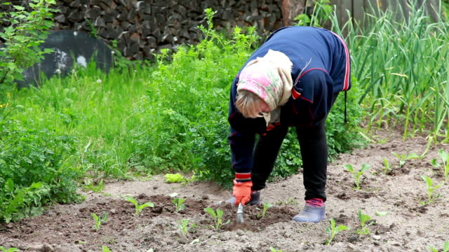 Senior woman weeding the cabbage plants in the garden