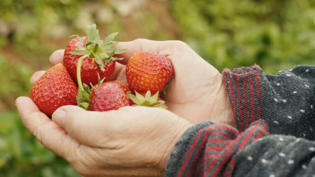 senior woman's hand picking strawberry at the farm - picking harvesting stock videos & royalty-free footage