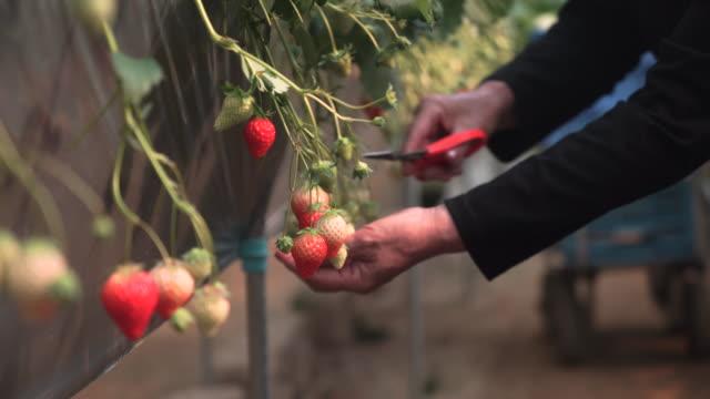 vídeos y material grabado en eventos de stock de senior mujer trabajando en su propia fresa granja - fresa