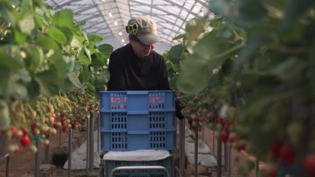 senior frau arbeiten in ihrer eigenen erdbeer-farm - gewächshäuser stock-videos und b-roll-filmmaterial