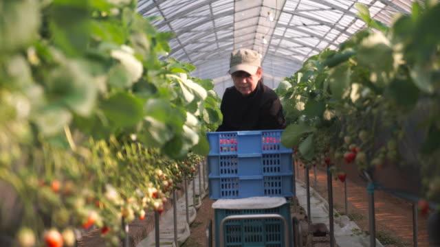年配の女性は仕事でもストロベリーファーム - 収穫する点の映像素材/bロール