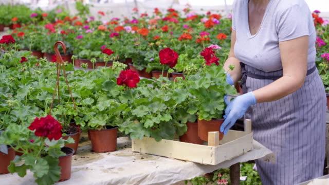 senior women in flower greenhouse - gardening glove stock videos & royalty-free footage